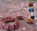 Coral Cobra