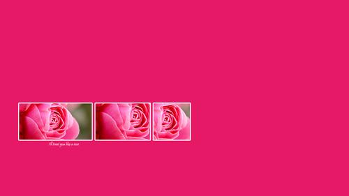 Rose hình nền
