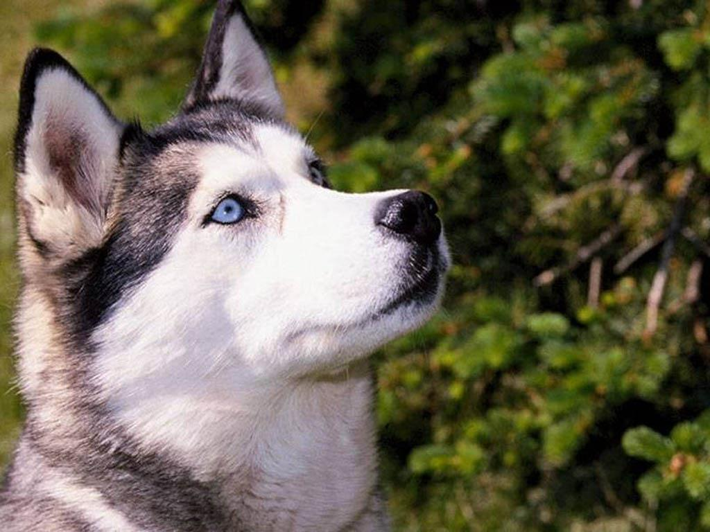 Siberian Huskies Images Siberian Husky Hd Wallpaper And Background