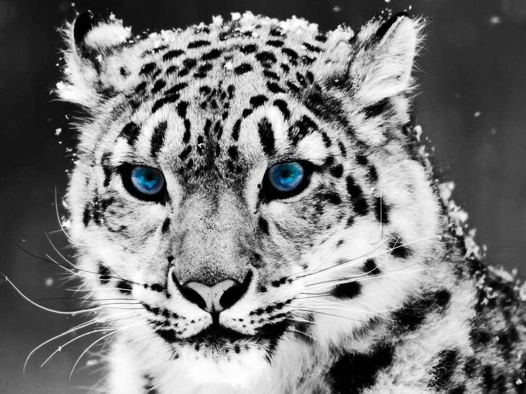 Cats tiger