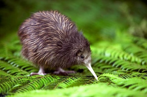 kiwi chick - nature Photo