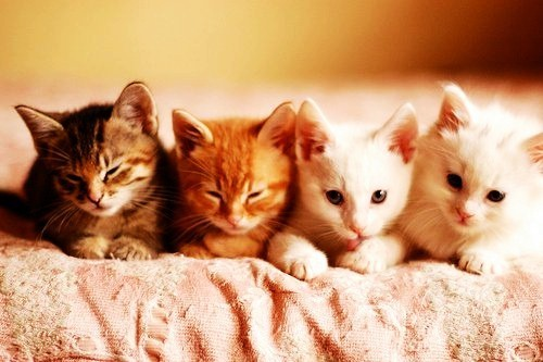 Cats wallpaper probably containing a kitten, a tom, and a cat entitled Adorable Kitties <3