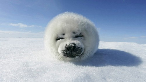 Animal Humor wallpaper probably with a harp seal entitled Funny Animals