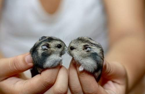 Two Djungarian Hamsters