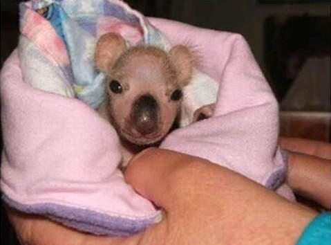 Koala Bears 3/11