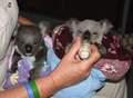 Koala Bears 5/11