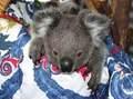 Koala Bears 6/11