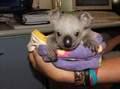 Koala Bears 7/11