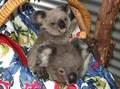 Koala Bears 9/11