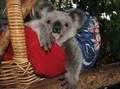 Koala Bears 10/11