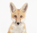 Little Fox - fox photo