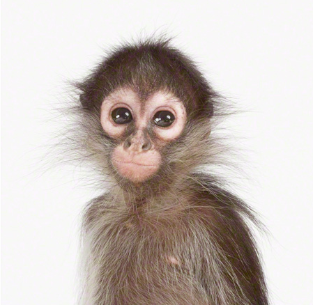 Animals achtergrond called Little Monkey