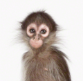 Little Monkey - monkeys photo