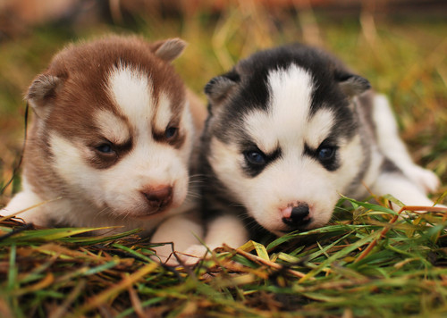 Puppies wallpaper possibly containing a siberian husky entitled Puppies