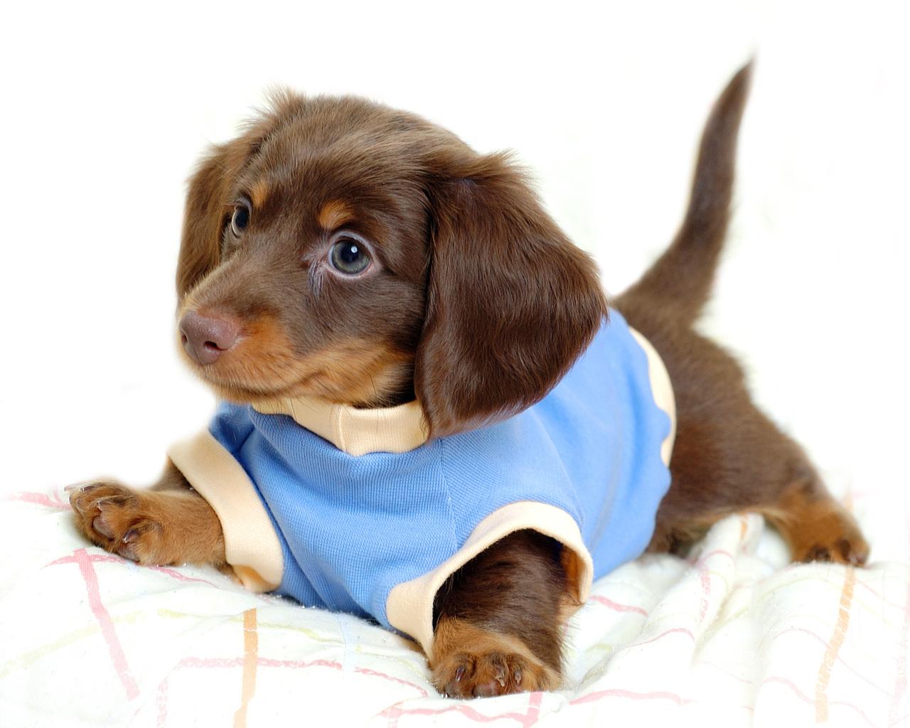 Pin Baby Weiner Dog Puppies on Pinterest