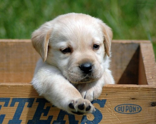 Puppies wallpaper with a golden retriever called Puppies