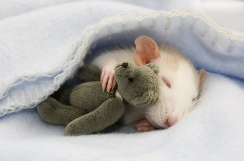 Sleeping Rat