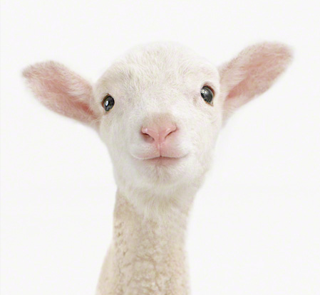White kambing, daging biri-biri