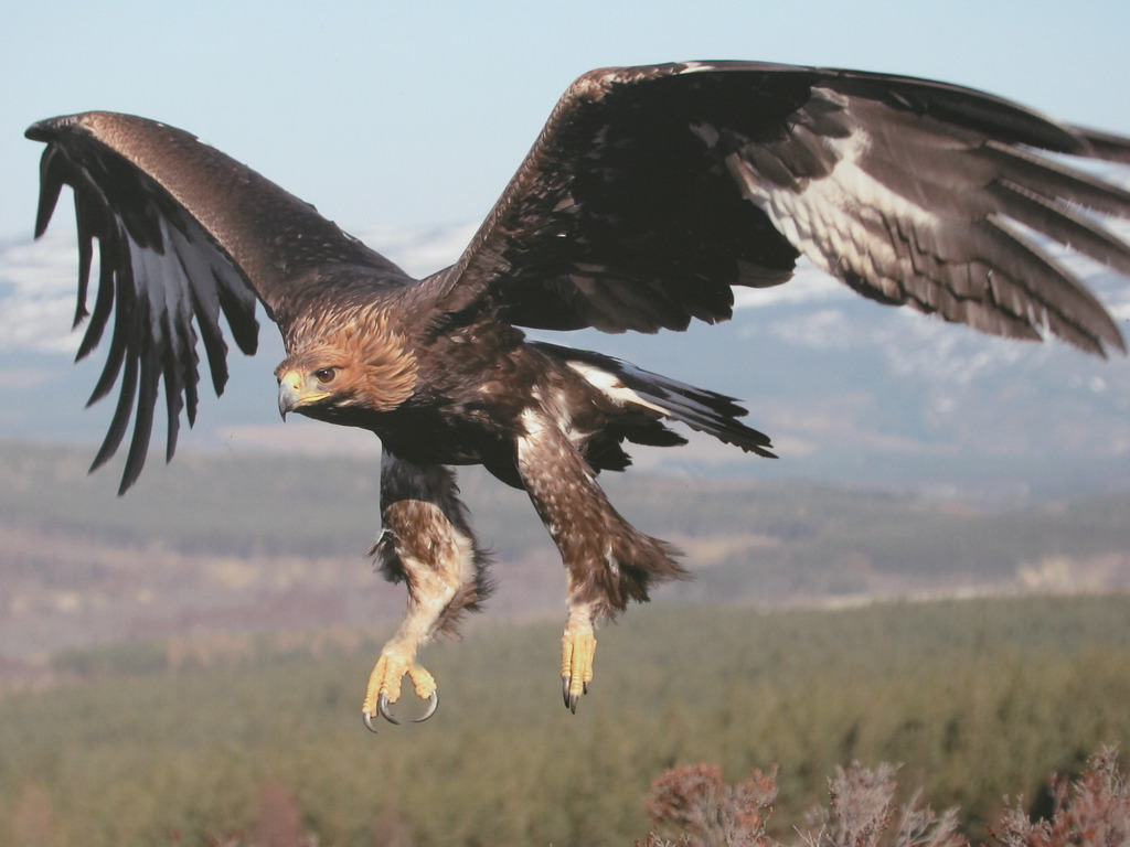 Golden Eagles Flying Wallpaper Golden Eagle In Flight