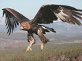 Beautiful Golden Eagle In Flight