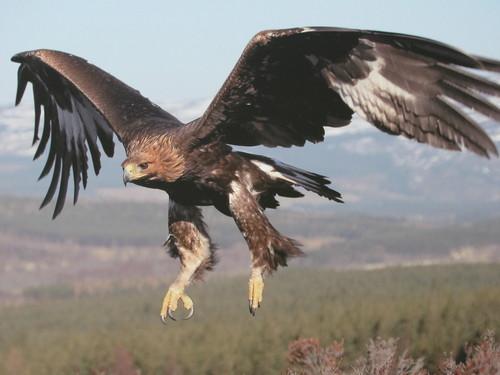 Beautiful Golden Eagle In Flight