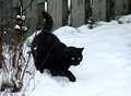 Black Cat - black-cats photo