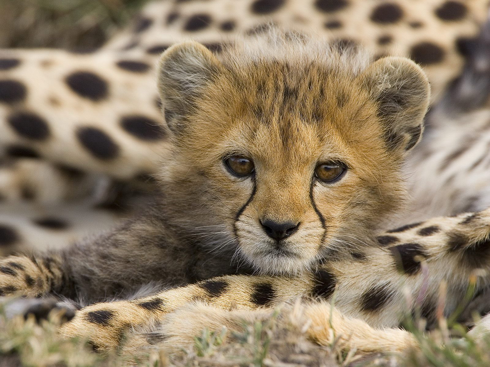 Animal Cubs images Cheetah Cub HD wallpaper and background photos