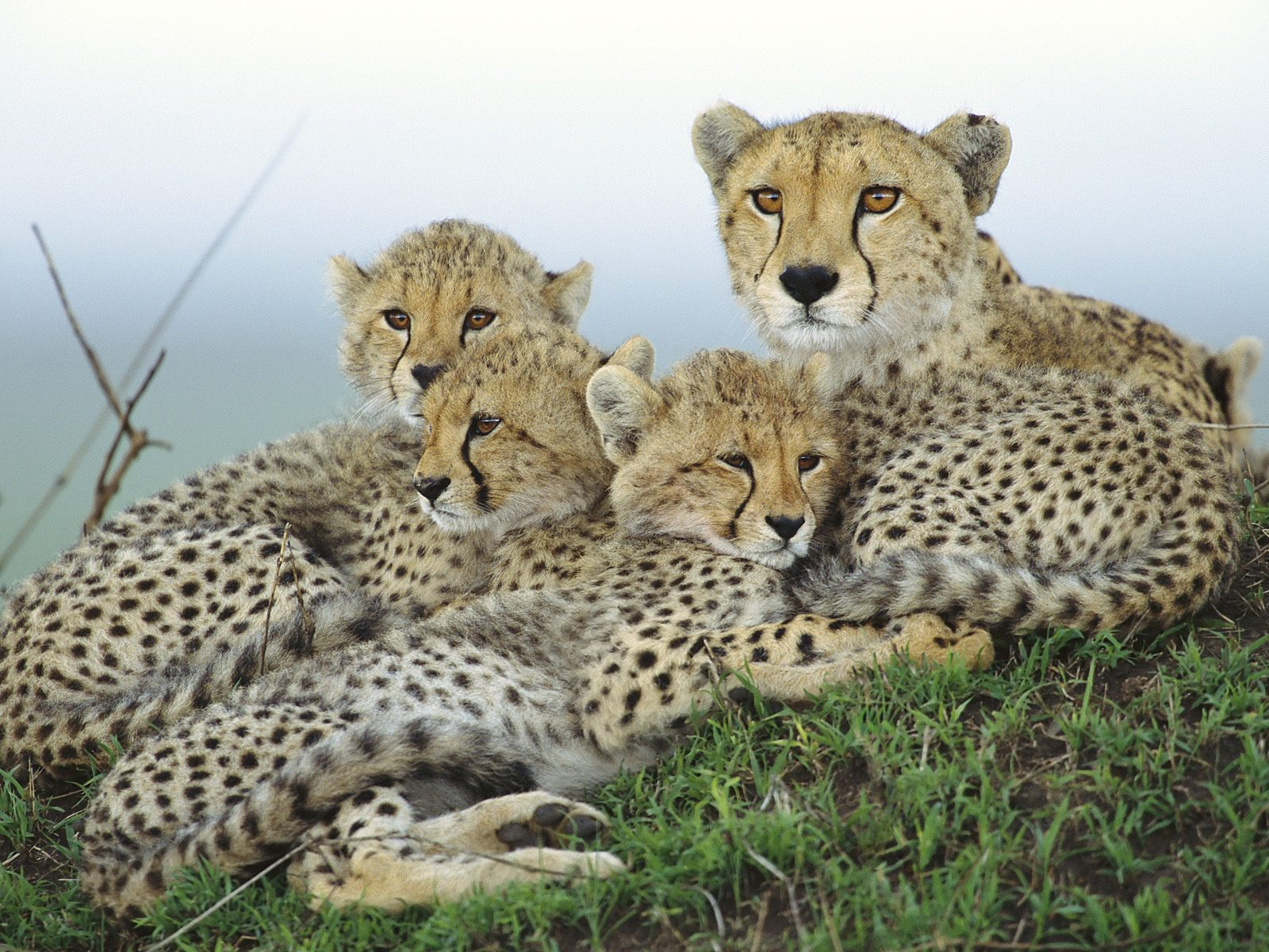 Animal Cubs images Cheetah with Cubs HD wallpaper and background photos