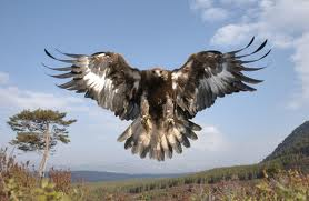 Golden Eagles wallpaper entitled How Big ?