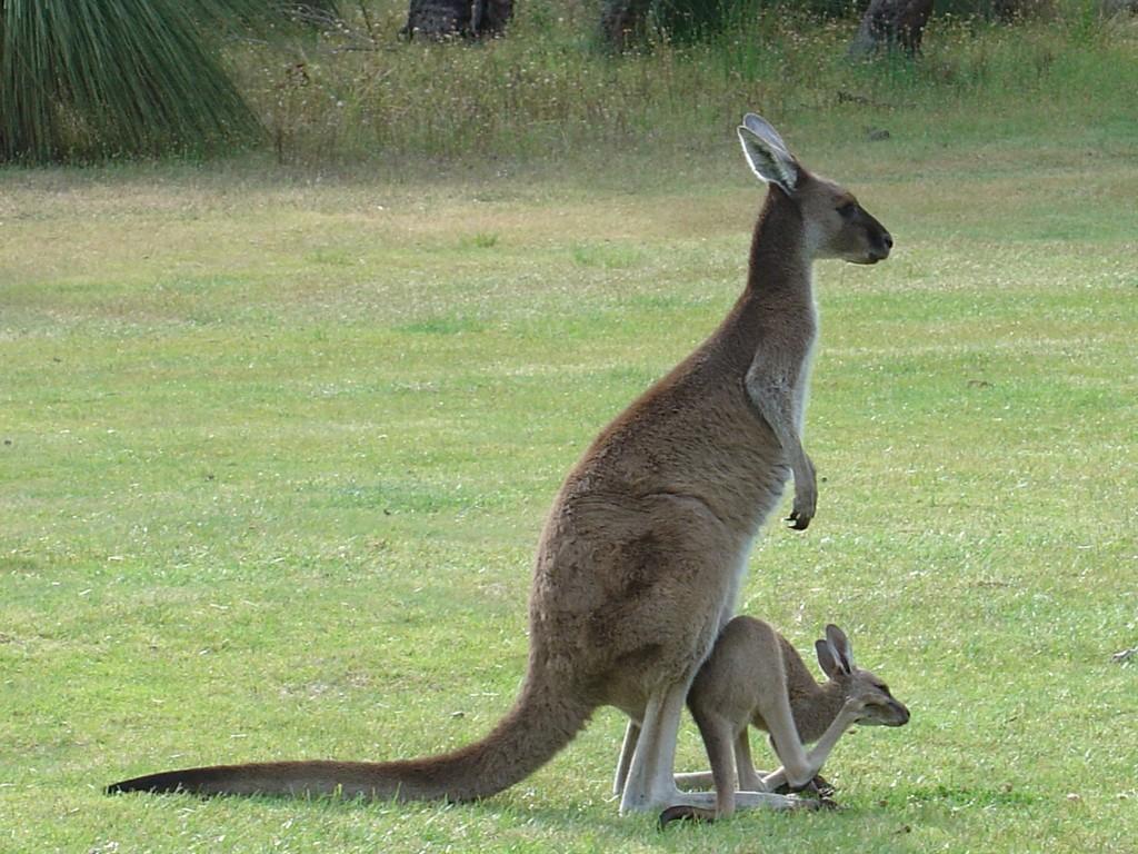 koala wallpaper free