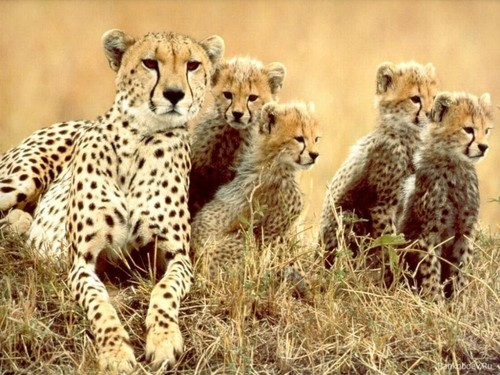 Lepard with Cubs