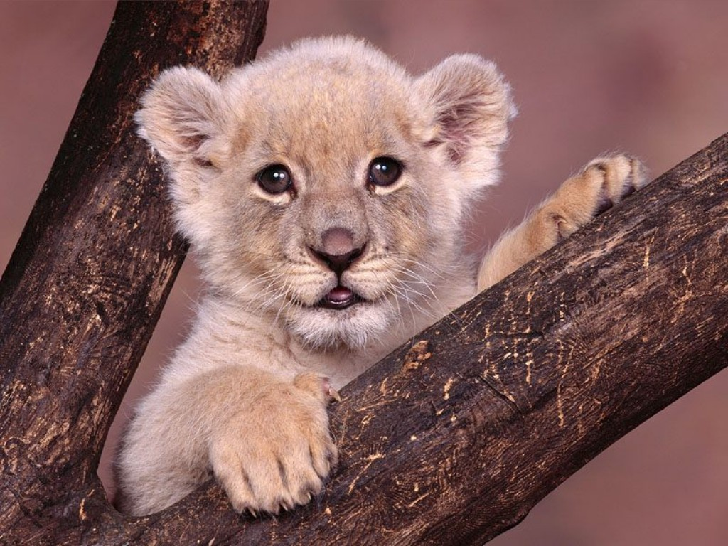 Animal cubs lion cub