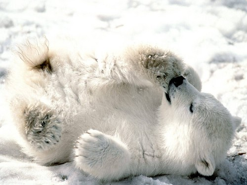 Polar медведь Cub
