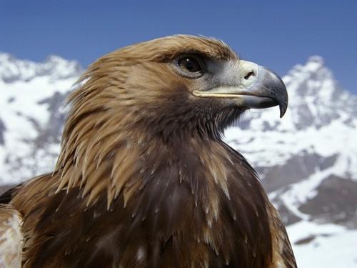 The Beautiful Golden Eagle