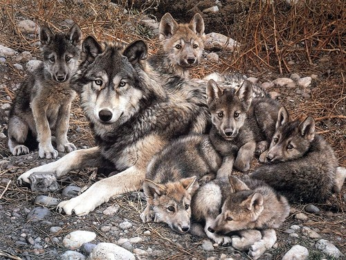 Animal Cubs images Wolf with Cubs HD wallpaper and background photos