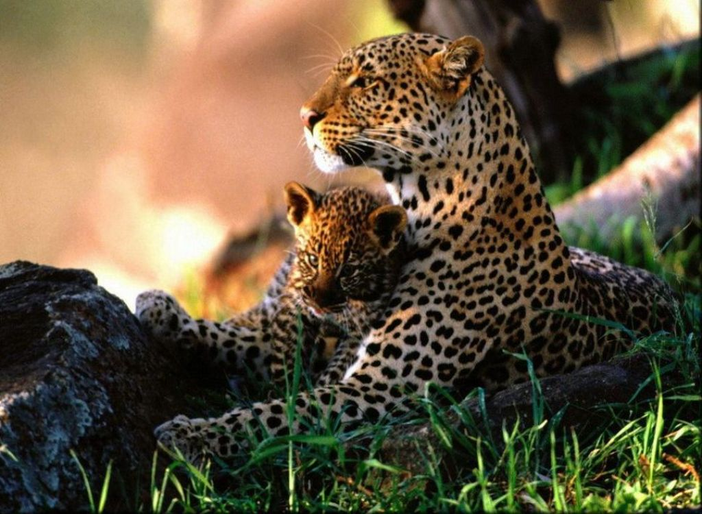 jaguars animals cubs wwwimgkidcom the image kid has it