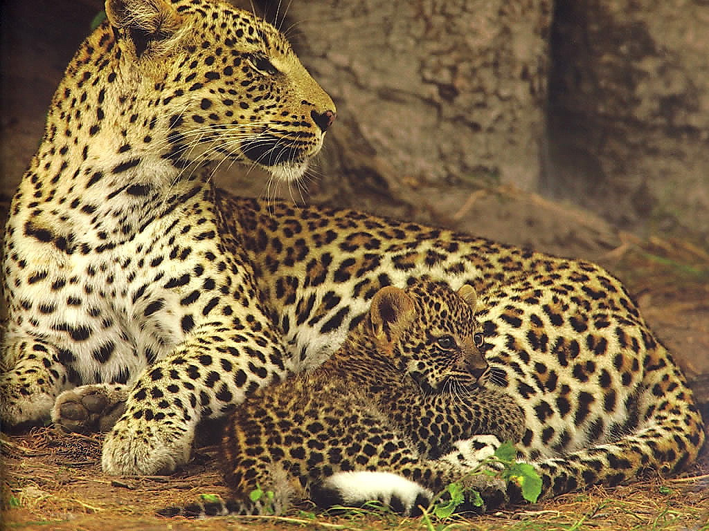 animal cubs images jaguar with cub hd wallpaper and