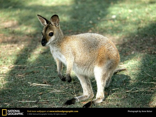 wallaby Joey