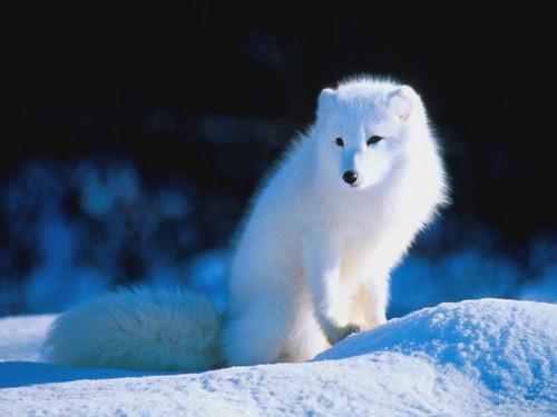 Arctic लोमड़ी, फॉक्स