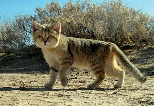 Sand Cats karatasi la kupamba ukuta possibly with a tabby, a tom, and an egyptian cat called Sand Cat