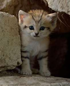 Sand cat - sand-cats Photo