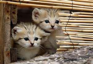 Sand Cats karatasi la kupamba ukuta containing a kitten, a cat, and a tabby called Sand cat