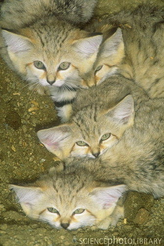 Sand Cats karatasi la kupamba ukuta probably containing a tabby, a tabby, and a cat called Sand cat