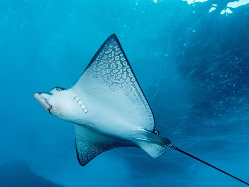Animals wallpaper with a stingray and a skate titled Spotted Ray