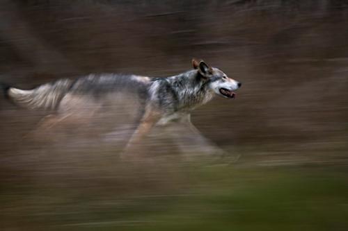 Người sói