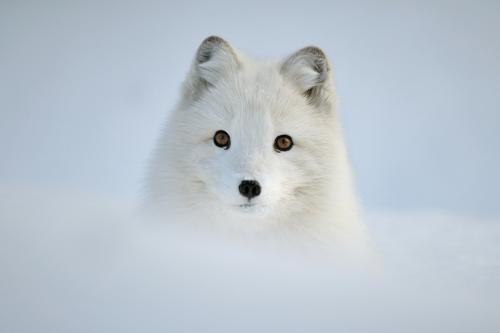 Las pequeñas Cronicas de Rin... Arctic-Foxes-3-fox-29353440-500-333