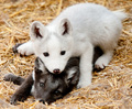 Arctic Foxes. :3 - fox photo