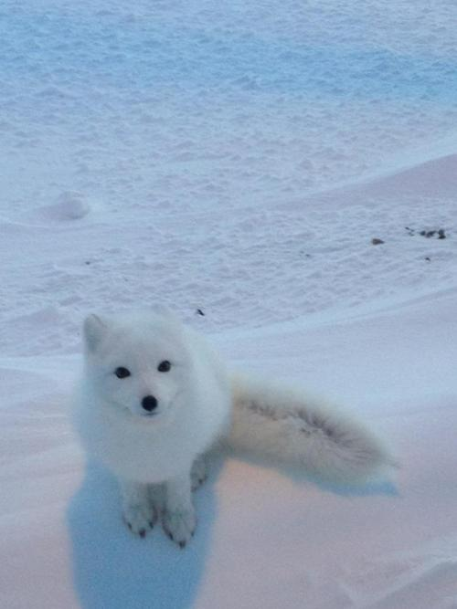 arctic fox cute white - photo #9