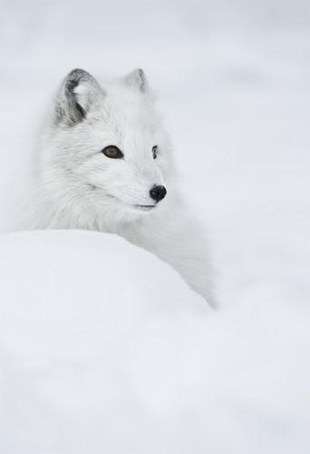 Arctic Foxes. :3