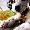 Dogs foto containing a dalmatian titled Cute Dog iconen <3